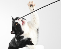 Beautiful british black and white cat.